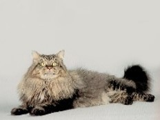 Race : Maine Coon